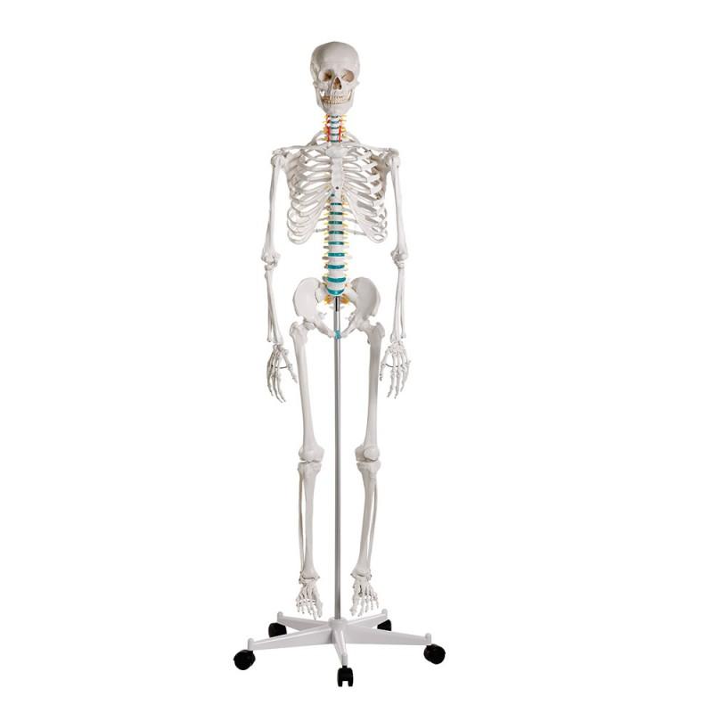 Erler Zimmer Oscar Πρόπλασμα ανθρώπινου σκελετού
