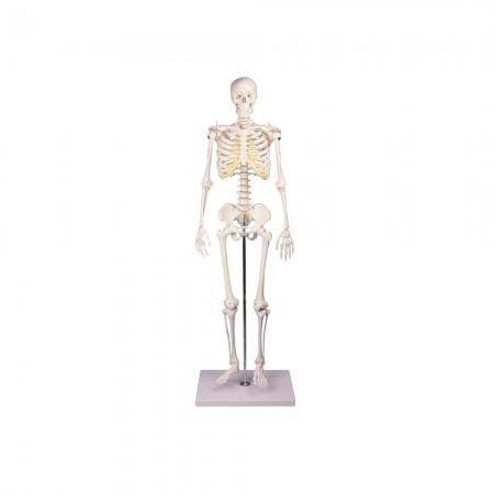 Erler Zimmer Tom Πρόπλασμα ανθρώπινου σκελετού, μινιατούρα