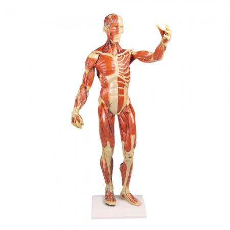 Erler Zimmer Πρόπλασμα μυϊκής αναπαράστασης, μινιατούρα