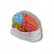 Erler Zimmer Πρόπλασμα εγκεφάλου, 5 τεμάχια