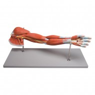 Erler Zimmer Πρόπλασμα μυών χεριού,7 αποσπώμενα κομμάτια