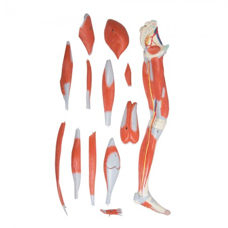 Erler Zimmer Πρόπλασμα μυών ποδιού,13 αποσπώμενα κομμάτια